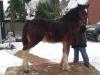 Abby, 6 mon junges Shire Horse Stut-Fohlen
