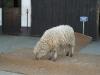 Auch ein Schaf wurde schon gewogen.