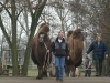 Die Kamele des JHC Raphaelshof in Dormagen !